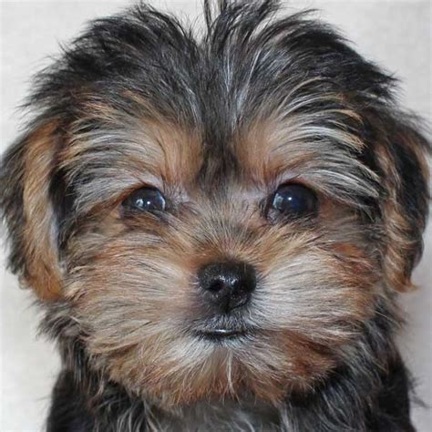 morkie puppy for sale morkie puppy for sale in boca raton south florida
