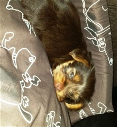 teacup yorkies for sale 500 dollars teacup yorkies for sale cost and prices