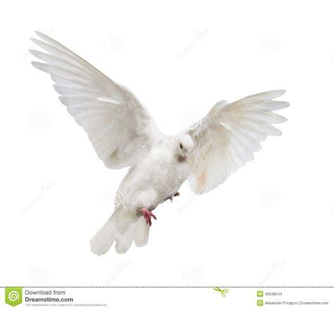 imagenes de palomas blancas en vuelo el vuelo aisl 243 la paloma blanca del color foto de archivo