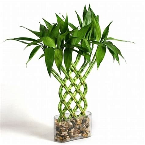 lucky bamboo trellis lucky bamboo from easternleaf com