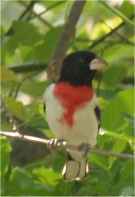 nc backyard birds fayetteville north carolina bird pictures backyard