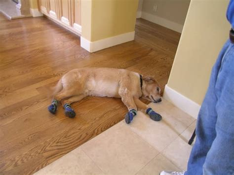 scratched hardwood floors from dogs booties help protect your hardwood floors from
