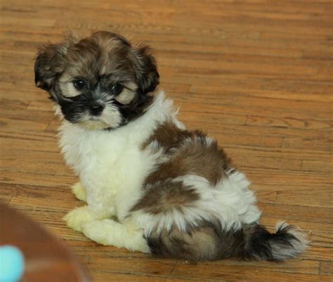shih tzu pup choosing shih tzu puppies for sale puppies for sale dogs for sale in ontario