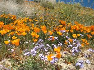 file wildflowers at california poppy reserve jpg