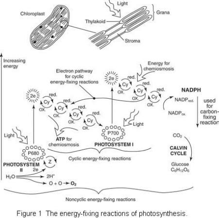Generation Of Proton Gradients Across Membranes by Photosynthesis