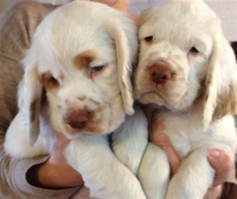 clumber spaniel puppies for sale clumber spaniel puppies ramsgate kent pets4homes