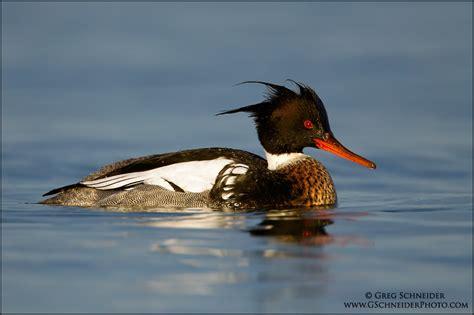 red breasted merganser index of gallery3 var albums birds ducks red breasted