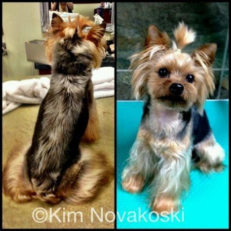 japanese style grooming yorkie asian fusion grooming yorkie blackhairstylecuts
