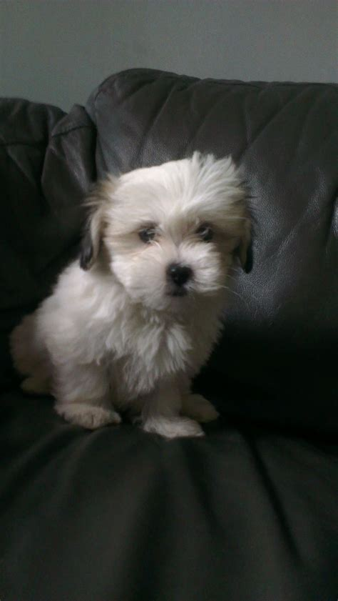 kyi leo puppies for sale kyi leo ready now abingdon oxfordshire pets4homes