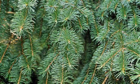 seven cedars christmas tree farm ri christmas tree