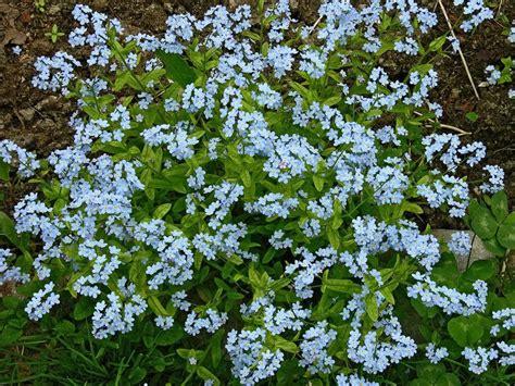 imagenes flores no me olvides flores de nomeolvides im 225 genes y fotos