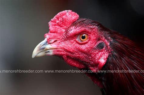 Ayam Bengis mb 432 hummer terjual menoreh breeder peternakan ayam