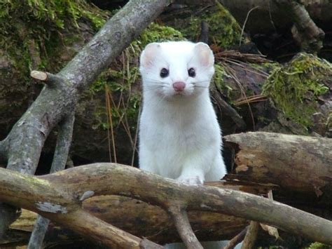 ermine color 1000 images about white emine weasel on