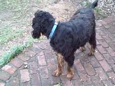 pace setter dog training crufts 2008 agility gordon setter funnydog tv