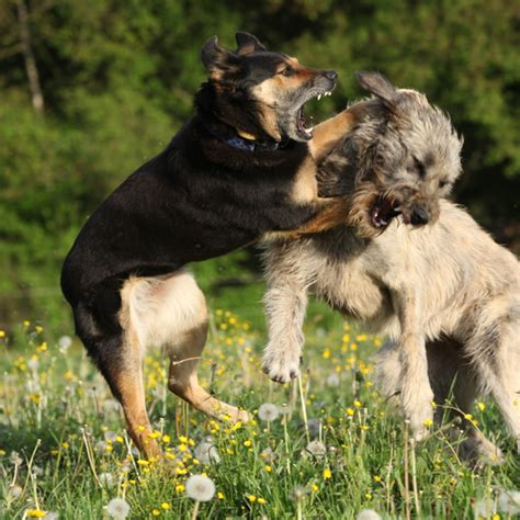 medication for aggressive dogs when and why i recommend drugs for help with your s behavior