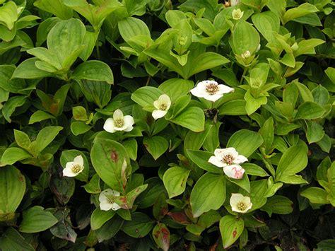 teppich verbene teppich hartriegel pflanze cornus canadensis staude kissen