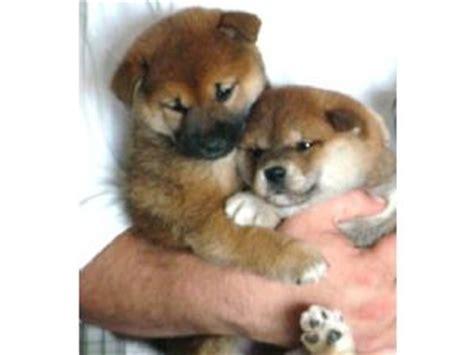 shiba inu puppies nc shiba inu puppies in washington dc