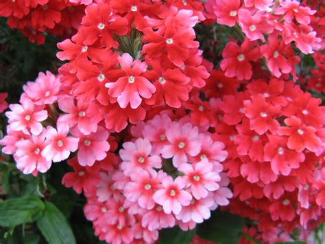 rosa fiori fiori e rosa fiori e rosa ondablv flickr