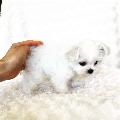 teacup maltese puppies for sale 500 teacup maltese puppy for sale iheartteacups
