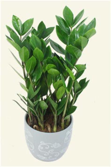 indoor garden maintenance zamioculcas zamiifolia quot zz palm quot a low maintenance indoor