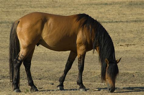 mustang horse mustang horse 32 wallpapers hd desktop wallpapers