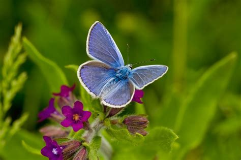 12 24 3d blue butterfly common blue butterfly jigsaw puzzle puzzlemobi