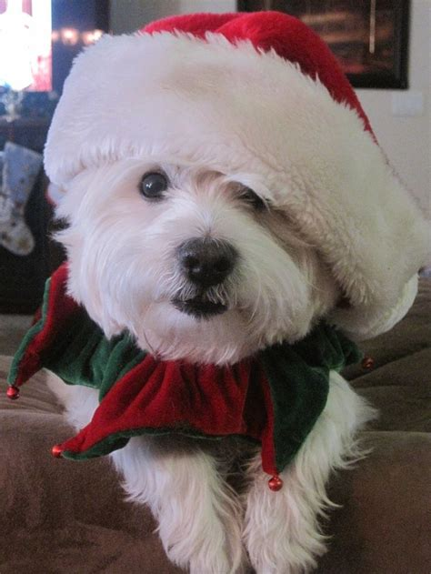 images  santas dogs  puppies  pinterest christmas animals schnauzers