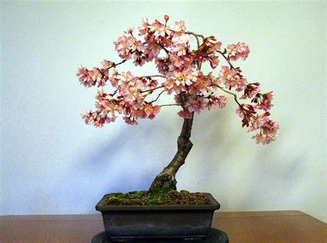 bonsai fiori bonsai pesco curare bonsai bonsai di pesco