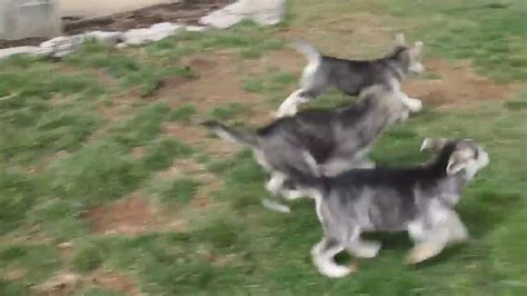goberian puppies for sale 2017 goberian puppies for sale