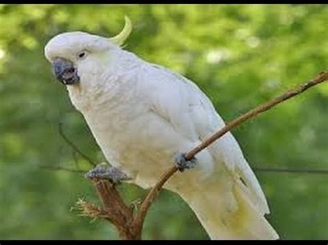Rantai Burung Kakatua By Nd Pets burung elang terbesar di dunia funnycat tv
