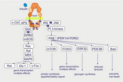 protein kinase b cell biology promotion