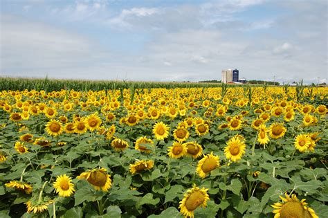 Sunflower Farm | a field of sunflowers inspirations and explorations