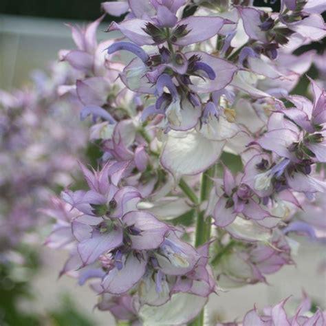 produce fiori in spighe la salvia speciali coltivare salvia
