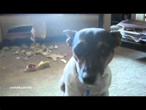 dog eats couch the awkward moment when you eat the couch mitsy the