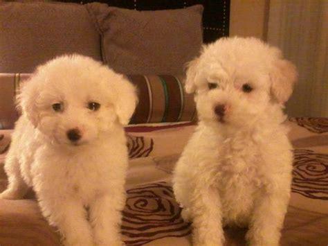 mini toy maltipoo puppies  sale adoption  antelope california sacramento  adpostcom