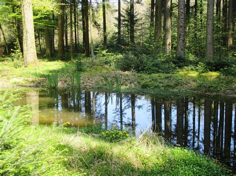 Mirroring Trees free photo forest pond trees mirroring free image on
