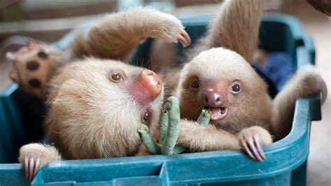 Nature S Miracle Orphans One Kermie And Pelota The Two Toed Sloths In A Plastic Crate Nature S Miracle