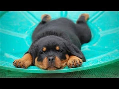 rottweiler favorite food rottweiler puppy www pixshark images galleries with a bite