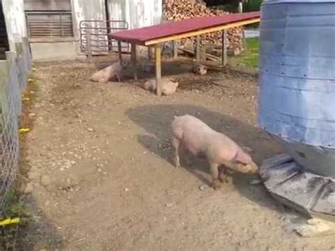 outdoor pig pen setup with gravity fed water system youtube