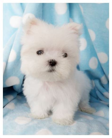 teacup maltese puppies for sale in pa de 25 bedste id 233 er inden for teacup maltese puppies p 229 baby pomeranian