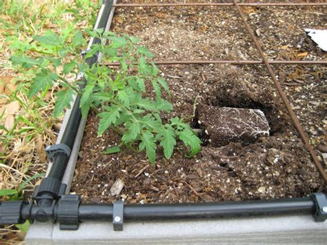 tomatoes a complete planting guide the how do gardener