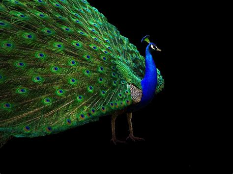 Desktop Nature Wallpaper Indian Blue Peacock Free | desktop nature wallpaper indian blue peacock free