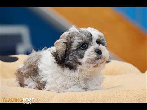 bichon frise x shih tzu zuchon bichon frise x shih tzu puppies for sale in hoppers crossing vic zuchon