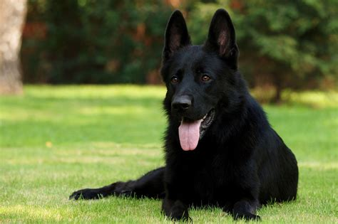 Black German Shepherd | black german shepherd birželis 2013