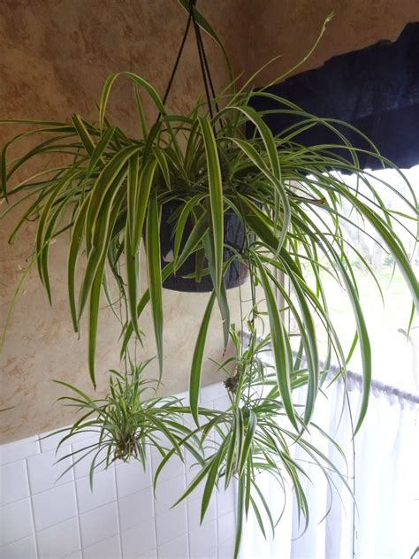 spider plant rebecca s texas garden spider plant propagation