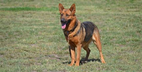 trained dogs for adoption trained dogs for adoption a last resort all breed rescue