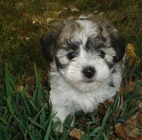 silver havanese black silver brindle havanese future friends