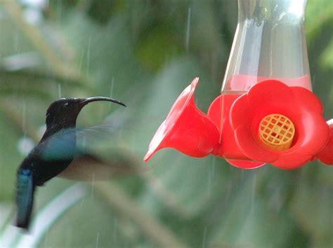 hummingbird rubber st west indies birds