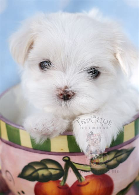 maltese puppy for sale maltese puppies for sale in miami fort lauderdale fl teacups puppies boutique