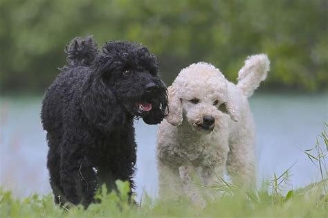 miniature poodles the poodle information center miniature poodle facts cuteness